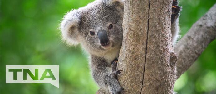 Koala in tree at Kuranda North Queensland Australia