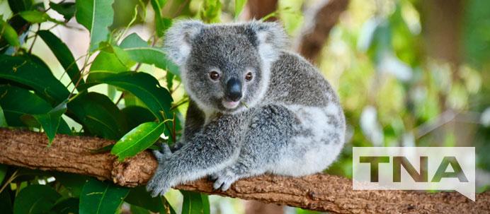 Koala at Billabong Sanctuary
