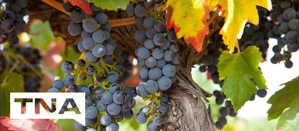 wine grapes barossa valley
