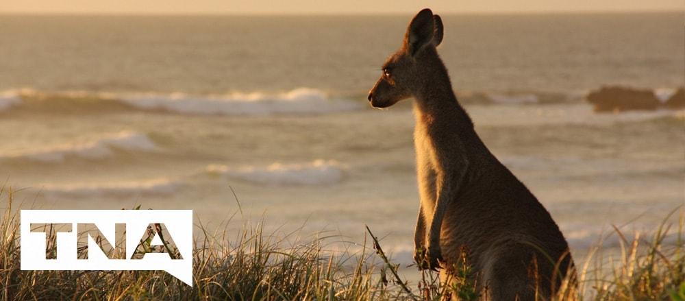 Depot Beach kangaroos